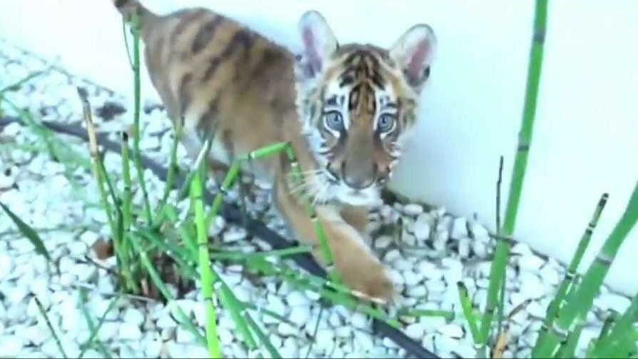 Studio City Man Faces Tiger Mistreatment Charges