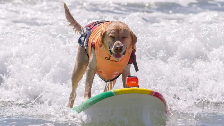 The 10th Annual McKenna Subaru Surf City Surf Dog saw barkers on boards on Saturday, Sept. 29.