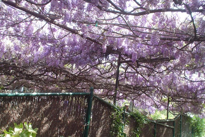 A purple ceiling covers two backyards in Sierra Madre. It isn't really a ceiling, though, it is a single wistaria vine, and it is the World's Largest Blossoming Plant, per the Guinness World Records. See it on Sunday, March 18.