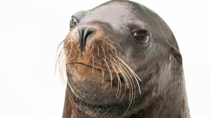 The utterly charming Chase, a California sea lion, is now swimming with the other sea lions and seals at the Aquarium of the Pacific, as of early October, 2018.
