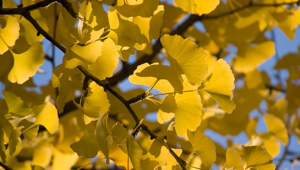 Are the gingko trees looking positively lemon-y these days? It's a very LA Decembertime sight. (Photo by FlowerPhotos/UIG via Getty Images)