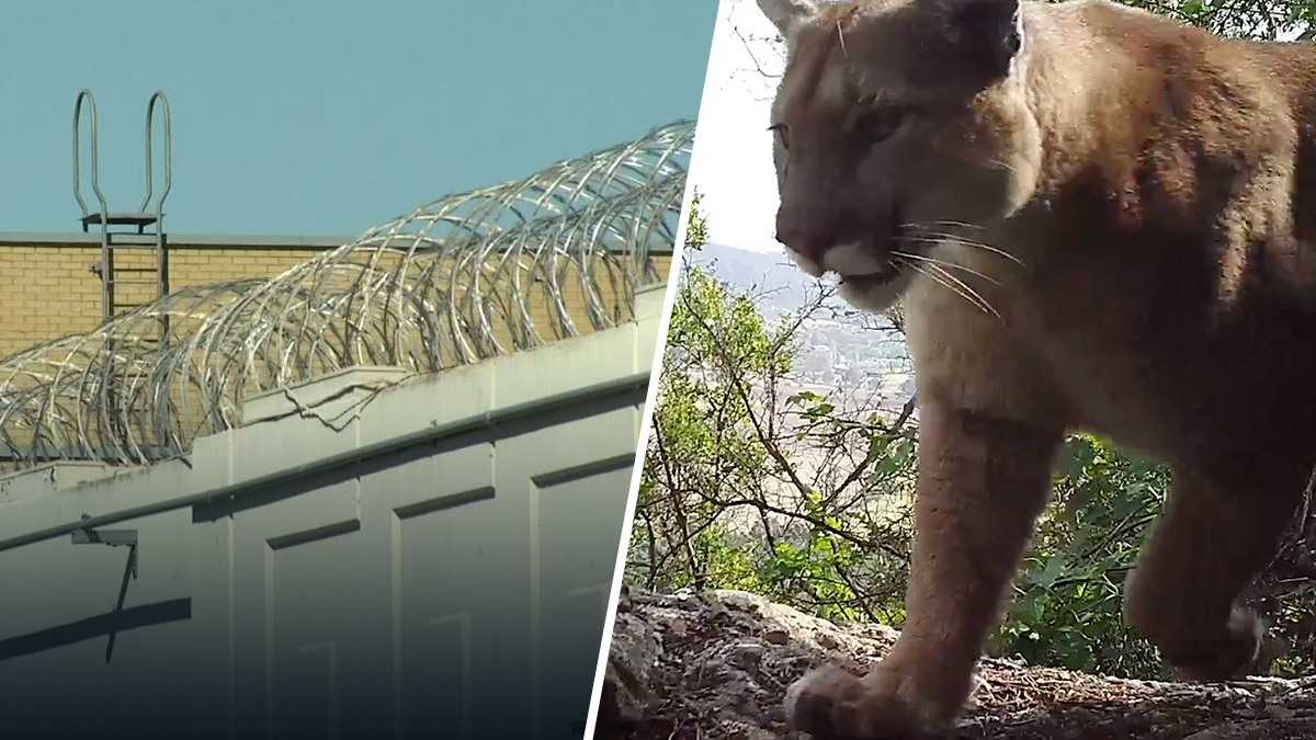 An analysis of data found that pepper spray use is on the rise in LA County juvenile halls and camps (left) and one woman retraced the steps of a mountain lion to bring attention to the plight of LA's mountain lions and their need for a wildlife crossing.