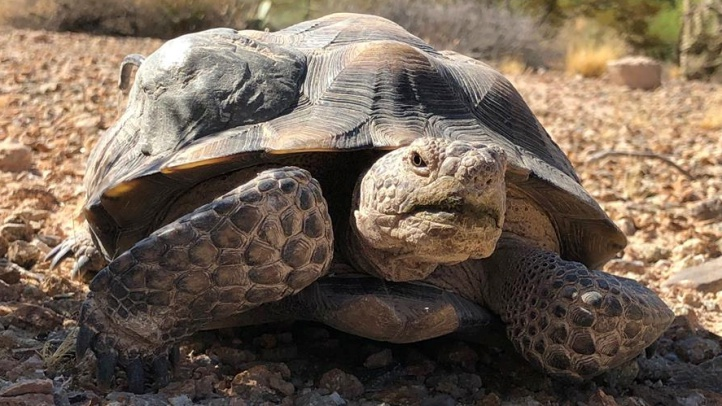The annual mid-winter Mojave Max Emergence Contest, which focuses on the famous desert tortoise's hibernation, opens for students. Mojave Maxine, of The Living Desert, is another beloved wintertime star currently in brumation.