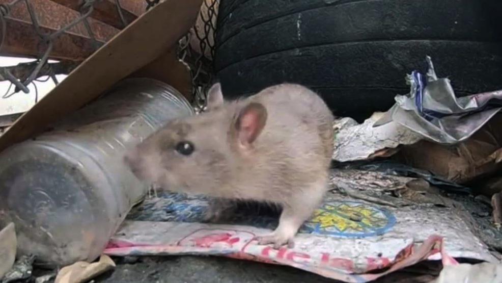 Pest Professionals Talk Disease-Carrying Rats in California