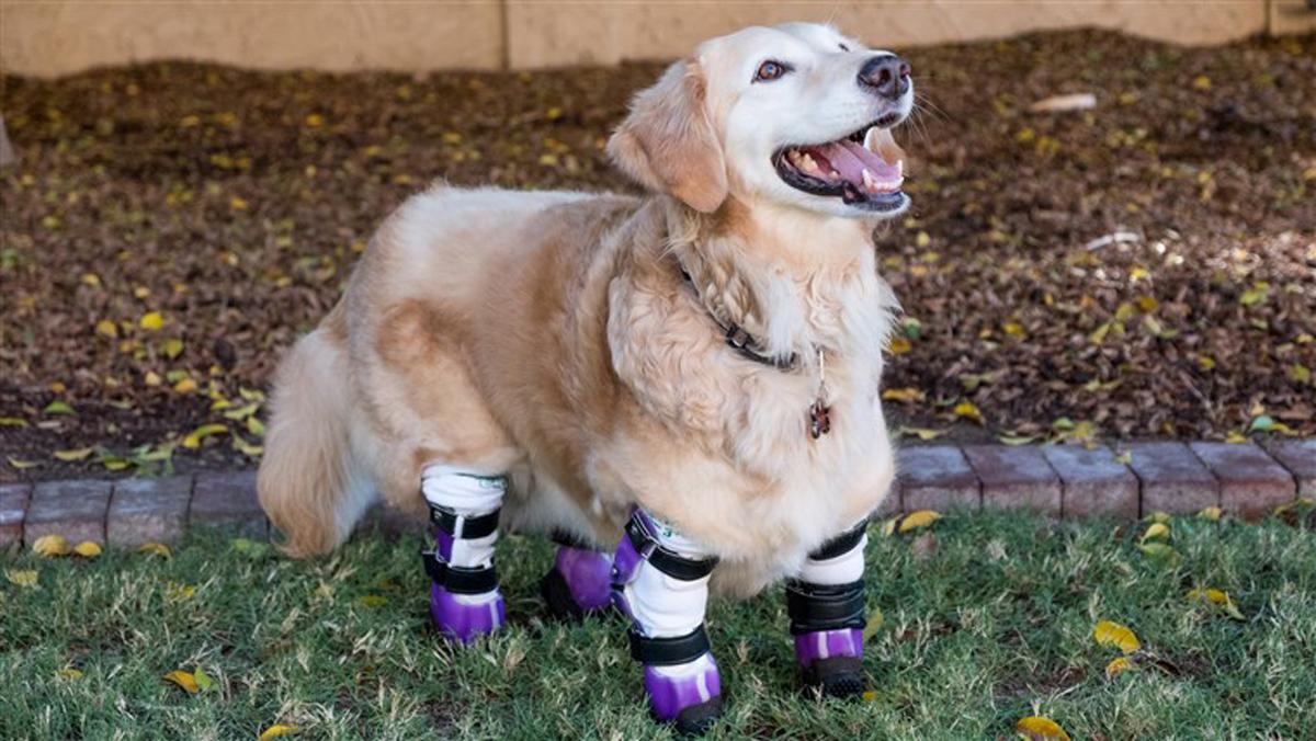 Chi Chi, American Humane's 2018 American Hero Dog