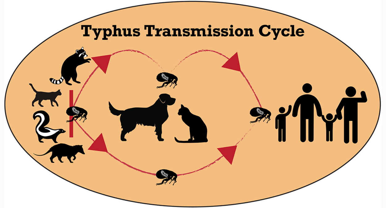 This graphic from the San Gabriel Valley Mosquito and Vector Control District shows the transmission cycle of typhus.